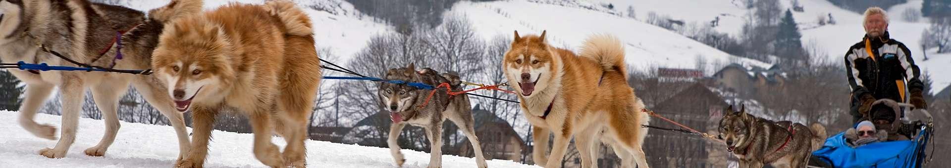 chiens-de-traineaux-937
